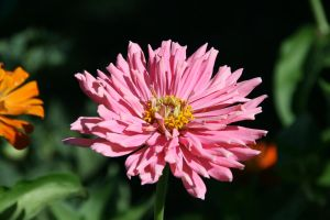 Pink by AmblingPhotographer