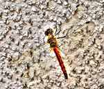 Dragonfly HDR by L-Spiro