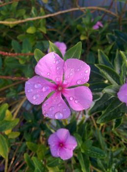 Periwinkle with water drops by PirateLizzie