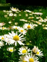 daisies 3 by ali-reme