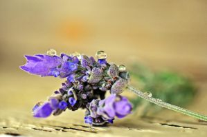 Purple Drops. by Monze1
