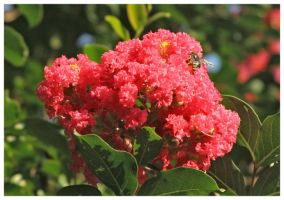 Crape Myrtle with Bee 3 by shawn529