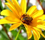 Bee on a yellow flower by Fabharty