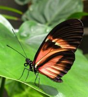Heliconius melpomone by Hedwigs-art