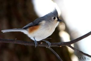 Tufted Titmouse by MASOCHO