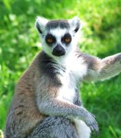 dopey eyed lemur by lucyparryphotography