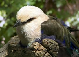 Blue Bellied Roller by Ciameth