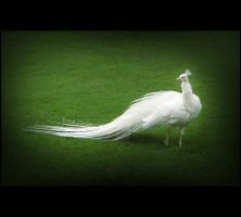 White Peacock by Ishmakey