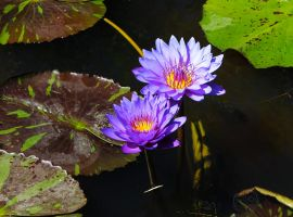 The blue Nymphaea by Heart-Luck