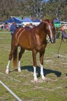 STOCK - Canungra Show 2012 023 by fillyrox