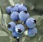 Blue Berries by timmysacc2