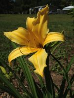 Yellow Lily by Jessica17