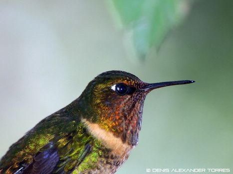 Orange-throated Sunangel by torreoso