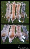 Coyote pelts by Speckled-Feather