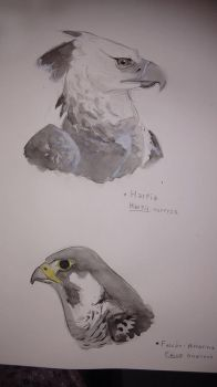 Harpy Eagle and Peregrine Falcon by llLilith