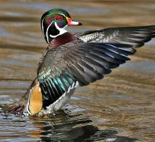 Wood Duck 2 by sighlent