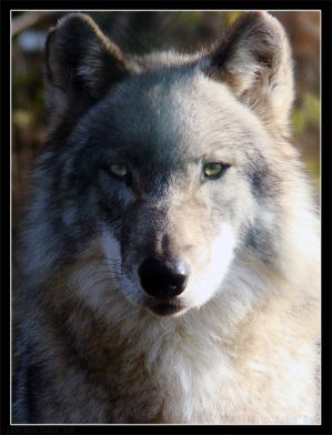 The_Tale_of_Two_Wolves_by_HeWhoWalksWithTigers.jpg