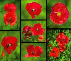 Poppies by Triumfa