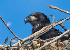 Young Bald Eagle-Getting Ready by JestePhotography