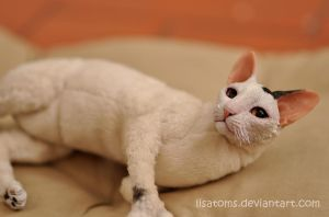 Toodles the cornish rex cat- commission by LisaToms
