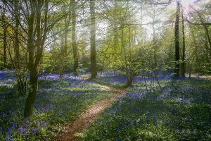Bluebells in April by BFGL