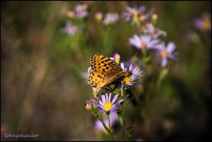 Butterfly wall by kayaksailor