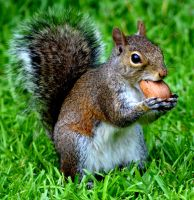 Squirrel and his nut by DarkxPhotography