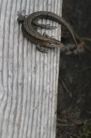 Common lizard by Arctictouch