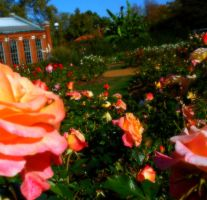 The Rose Garden by ooWhiteFox