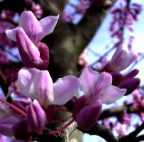 Red Bud by oceanstarr