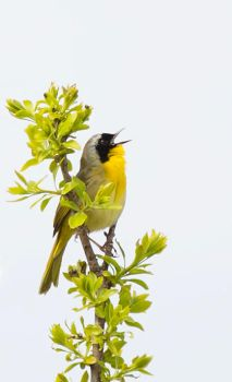 Common Yellowthroat by Pharmagician