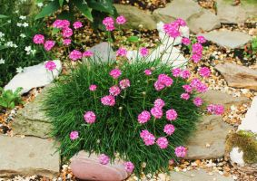 Pink in the rockery by Vincent-Malcolm