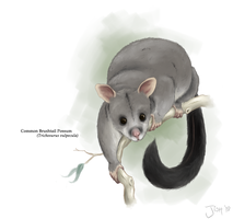 Common Brushtail Possum by Jish-G