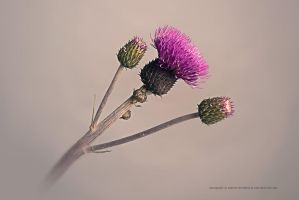 Thistle - Part II by Stridsberg