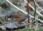 Dunnock by pjropes