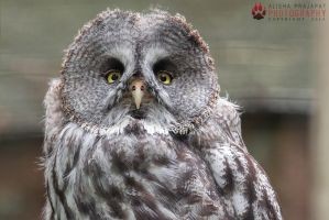 Portrait of a Great Grey Owl. by Ravenith