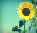 Afternoon's Sunflower by lamour-means-love