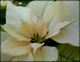 White Poinsettia II by Sugaree-33