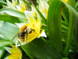 A bee at work 2 by SteffenHa