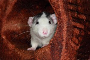 Barry the Rat1 by NickiStock