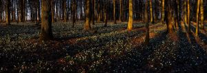 Leucojum forest pano by mescamesh