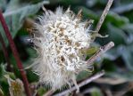 Frosted Dandelion or A Bad Hair Day by artamusica
