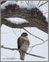 Hawk in a Snowstorm by Mogrianne
