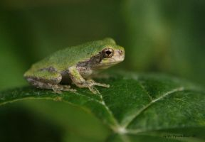 Little GrayTree frog I by natureguy
