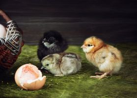 Adventures of newly hatched chicks by Daykiney