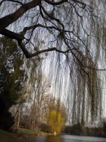 weeping willow by Silent-Utopia