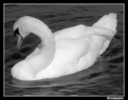 Classical Swan by brokendalek