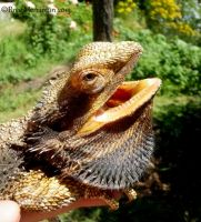 Bearded Dragon I by BreeSpawn