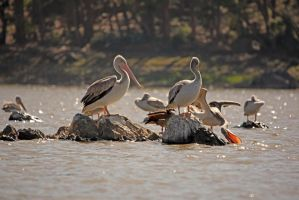 Eritrean bird - pelicans near Asmara by johnbesoo