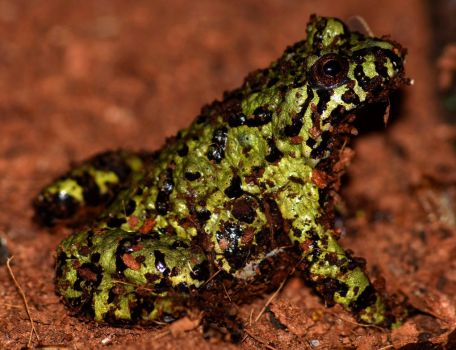 Fire-bellied Toad by CharlyJade